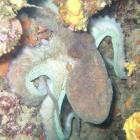 <h5>Octopus when Scuba Diving</h5><p>Scuba Diving Octopus</p>
