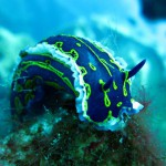 nudibranch on zenobia