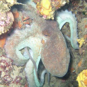 Octopus on Ziggy, Alpha Divers